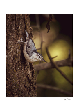 Nuthatch Morning