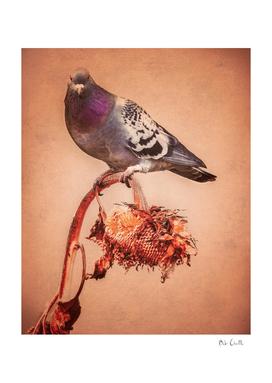Sunflower Pigeon