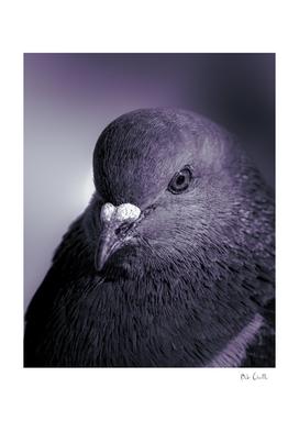 City Bird Pigeon