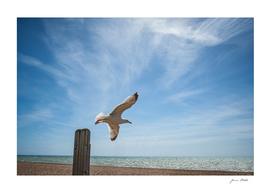 Seagull in Hastings II