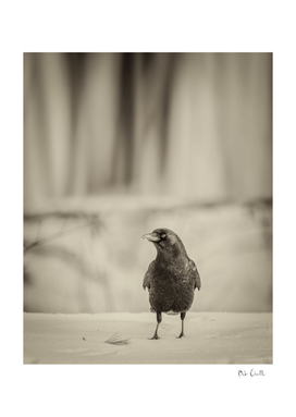 Betsy's Crow In The Snow