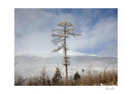 Larch tree - winter nature