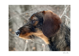 Dog, head rough-coated Dachshund