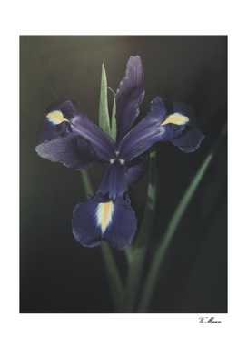 blue pale lily