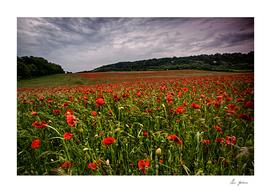 Boxley Poppy Fields