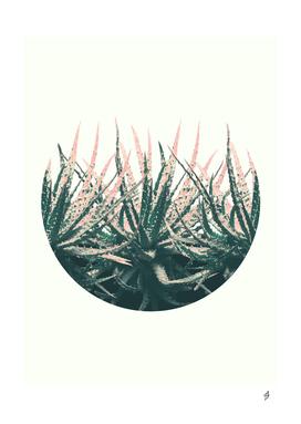 Succulent in Desert
