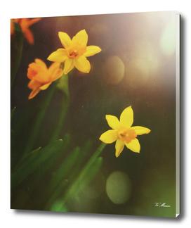 shining daffodils