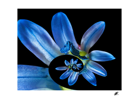 Life cycle - scilla flower