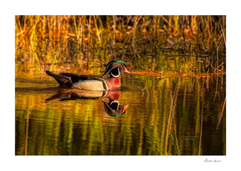 Wood Duck Evening