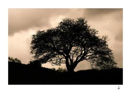 English Oak Tree Sepia