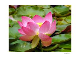 Elegant Lotus