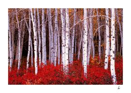 Silver Birch Trees Red