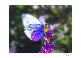 Butterfly on the Lavender