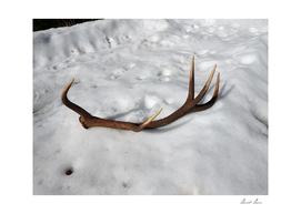 deer antlers in the snow