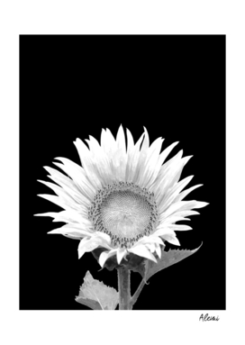 White Sunflower Black Background