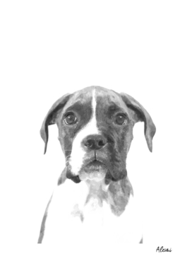 Black and White Boxer Dog