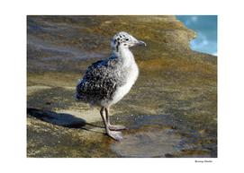 Ring-billed Gull Chick