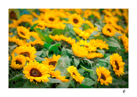 Sunflowers from a festival