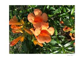 Ticoma vine flowers