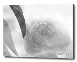 soft black and white flower