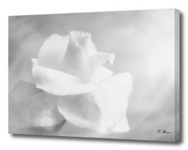 soft rose in black and white