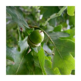 an oak fruit