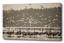 Common Cranes At Sunrise