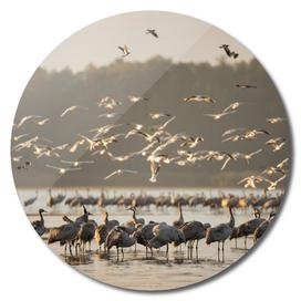 Common Cranes At Sunrise