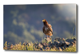 Young Egyptian Vulture