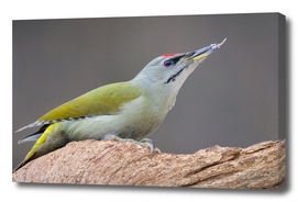 Male Grey-Headed Woodpecker