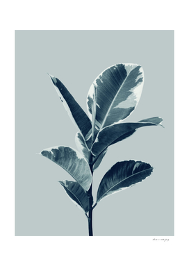 Ficus Elastica Finesse #1 #tropical #foliage #decor #art