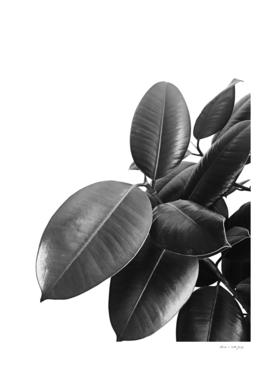 Ficus Elastica #23 #BlackAndWhite #foliage #decor #art