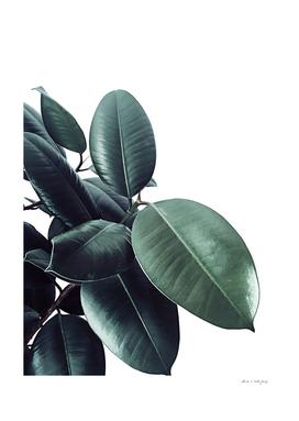 Ficus Elastica #18 #White #foliage #decor #art