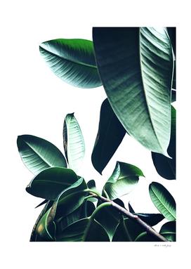 Ficus Elastica #26 #foliage #decor #art
