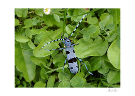 Alpine longhorn beetle