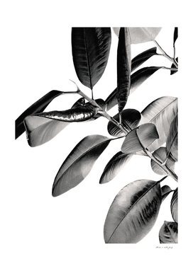 Ficus Elastica Black Gray White Vibes #1 #foliage #decor