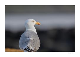 Yellow legged gull Larus michahellis