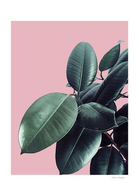 Ficus Elastica #14 #CoralBlush #decor #art