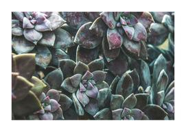 Botanical Gardens - Succulent #157