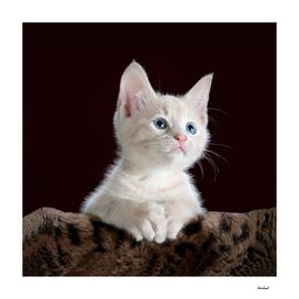 White Kitten On Dark Background