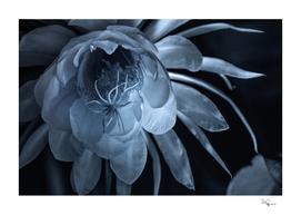 Moonlight On Cereus Bloom