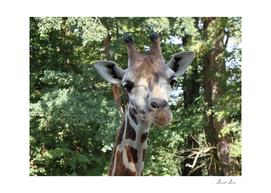Giraffe,(Giraffa camelopardalis)