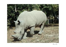 White rhinoceros, (Ceratotherium simum),