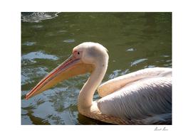 American white pelican,