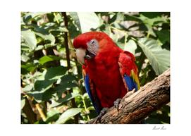 Scarlet macaw, (Ara macao)