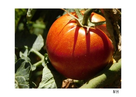 Dramatic Tomato