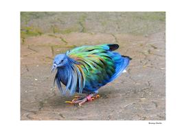 Nicobar Pigeon Strut
