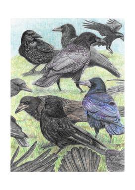 Corvus family