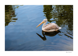 Pelican floating in the lake