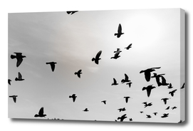 Silhouettes of flying pigeons in the skies